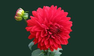 在花期綻放的紅花特寫攝影高清圖片