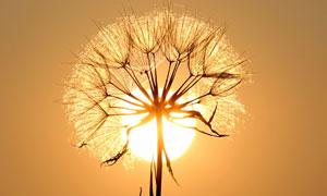 成熟的蒲公英逆光效果攝影高清圖片
