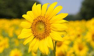 種植園里的向日葵特寫攝影高清圖片