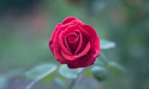上面掛著水珠的紅玫瑰攝影高清圖片