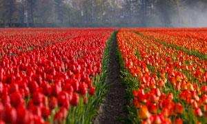 規模化種植的紅色鮮花攝影高清圖片