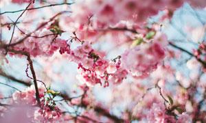 春天花期里開放的櫻花攝影高清圖片