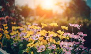 粉紅色與黃色的花逆光攝影高清圖片