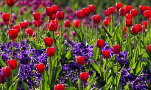郁金香與紫色鮮花特寫攝影高清圖片