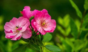 在綠葉叢中的紅色鮮花攝影高清圖片