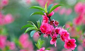 春天綠葉紅花近景特寫攝影高清圖片