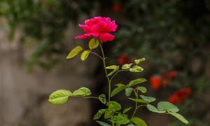 一支鮮艷的玫瑰花特寫攝影高清圖片