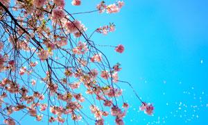 蔚蓝天空下的鲜花树枝摄影高清图片
