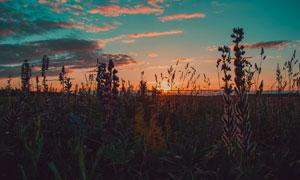 在黄昏夕阳中的薰衣草摄影高清图片