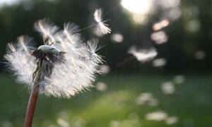 被風吹散的蒲公英逆光攝影高清圖片