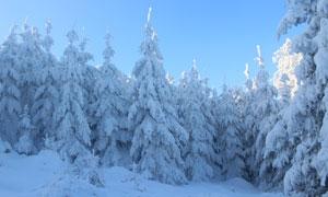 大雪之后蓝天下的树林摄影高清图片
