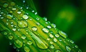 停留在绿叶上的晶莹水珠高清图片