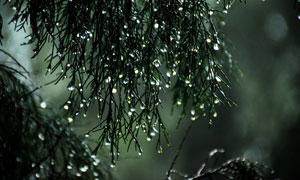 树枝上滴答滴答的水珠摄影高清图片