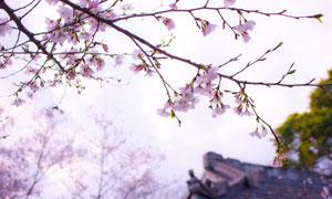 暖春時節樹枝花朵特寫攝影高清圖片