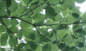 枝繁叶茂的树局部特写摄影高清图片