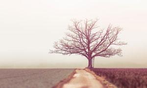 庄稼农田与凋敝的大树摄影高清图片
