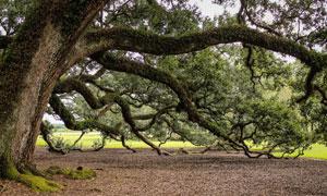 百年老树与一地的落叶摄影高清图片