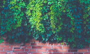 砖墙上的绿叶藤蔓植物摄影高清图片