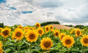 白云与山坡上的向日葵摄影高清图片
