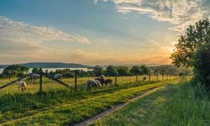 在悠闲吃着青草的羊群摄影高清图片