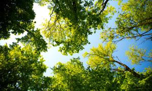 仰望时天空看到的树木摄影高清图片