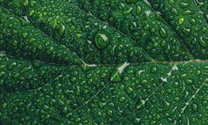清晰叶脉树叶上的水珠摄影高清图片