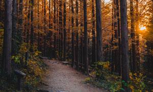 秋天季节夕阳下的树林摄影高清图片
