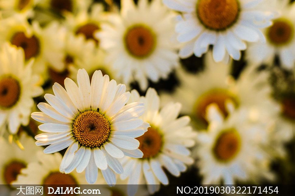 白色的小雏菊近景特写摄影高清图片