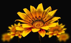 金黄色的花朵近景特写摄影高清图片
