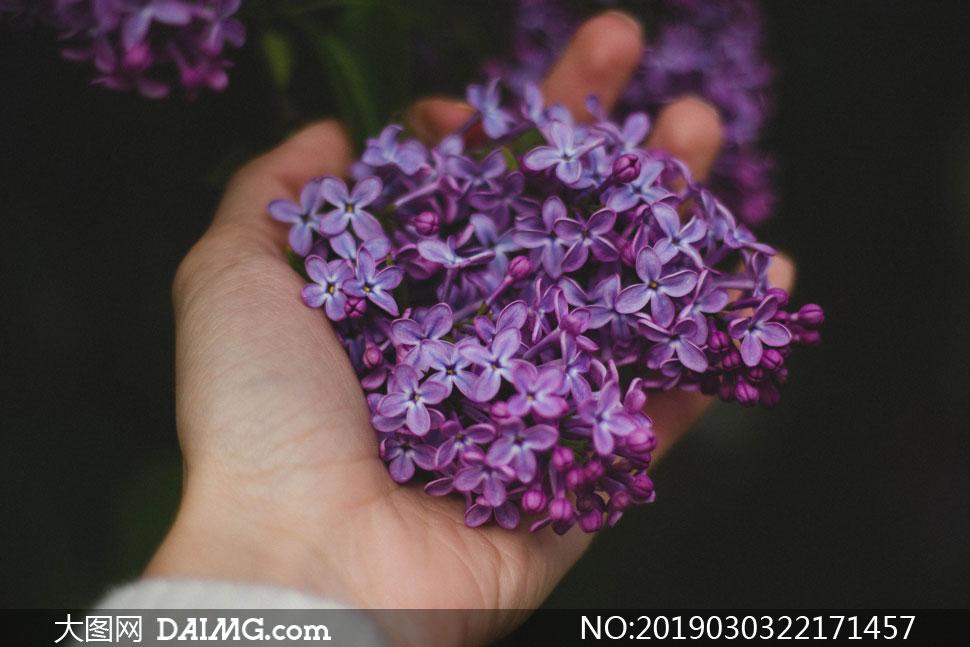 抓在手心里的紫色丁香花瓣高清图片