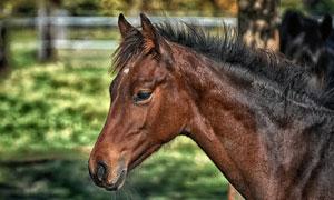 枣红色的马匹近景特写摄影高清图片