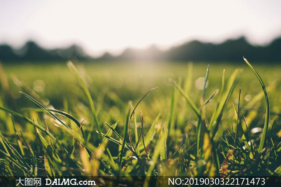逆光效果草丛上的青草特写高清图片