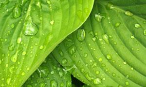 滚落到绿叶上的小水珠摄影高清图片