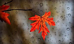 红色树叶与玻璃窗上的水珠高清图片