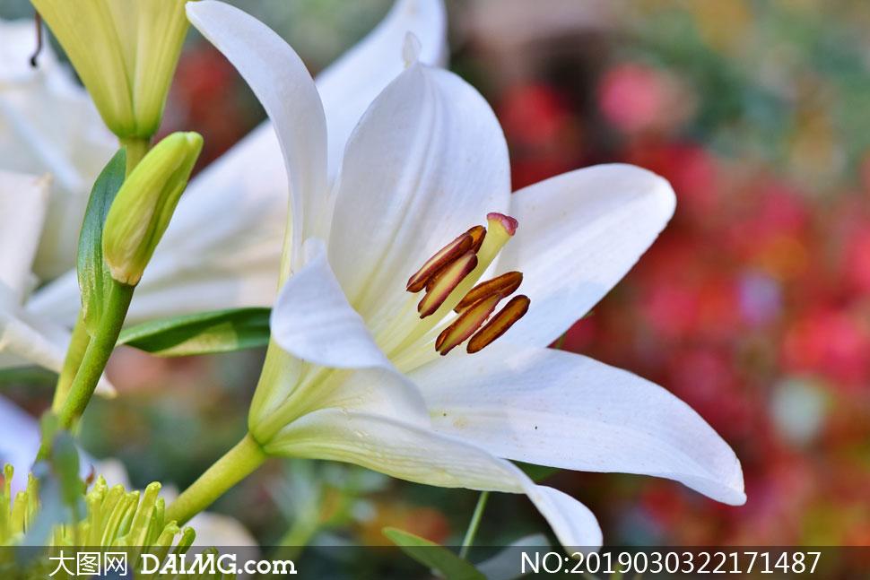 盛开的白色百合花特写摄影高清图片