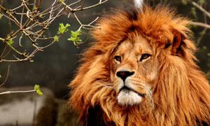 盯着树枝看的猛兽狮子摄影高清图片