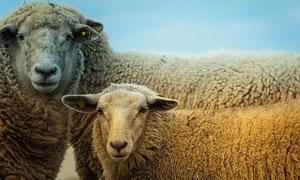 几只温驯的小绵羊特写摄影高清图片