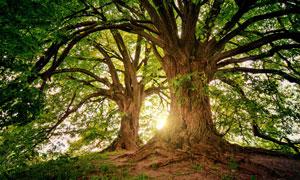 枝繁叶茂百年大树风光摄影高清图片