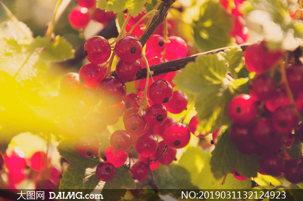 树枝上的红色果实特写摄影高清图片