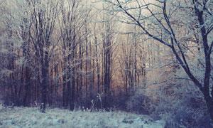 黄昏时的繁茂树林雾凇景象高清图片