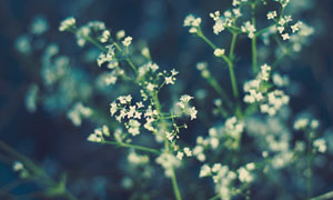 花枝上的白色小花特寫攝影高清圖片