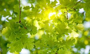 春夏时的树枝绿叶特写摄影高清图片