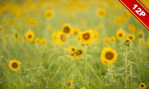 田里的向日葵风景主题背景高清图片