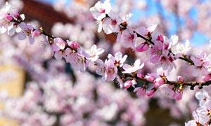树枝上粉粉的樱花特写摄影高清图片
