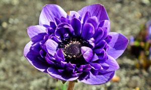 怒放中的紫色花朵特写摄影高清图片