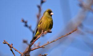 春天树枝上的小鸟特写摄影高清图片