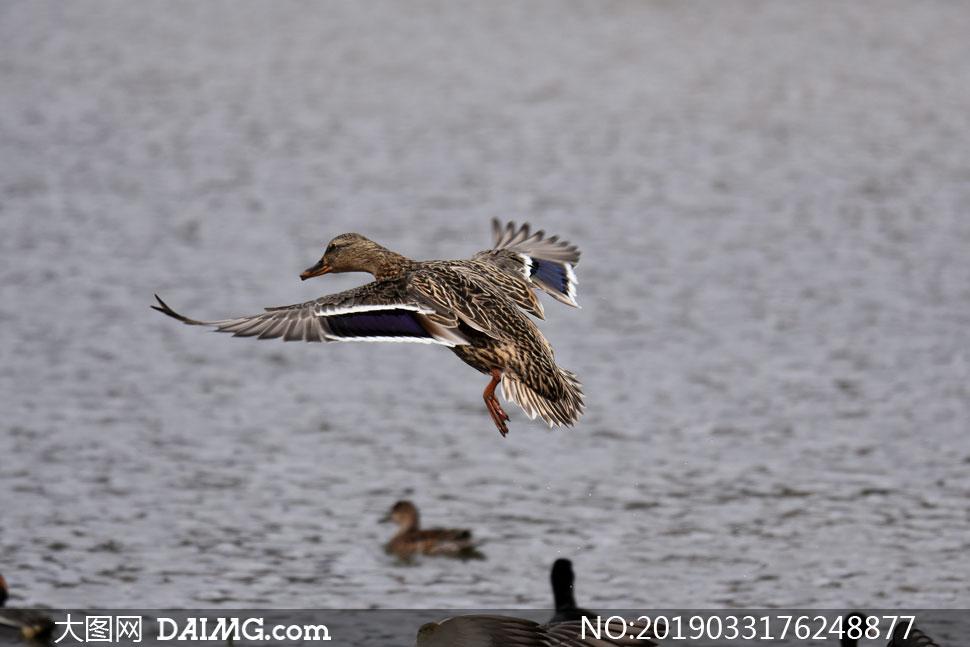 一时兴起展翅飞的鸭子摄影高清图片