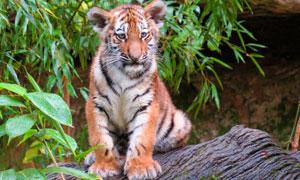 坐在石头上的一只老虎摄影高清图片