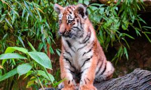 在岩石上的一只小老虎摄影高清图片