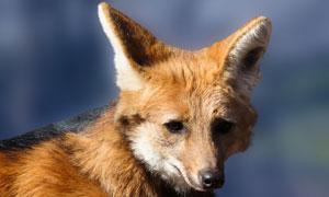 在扭头看着什么的狐狸摄影高清图片